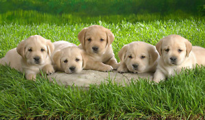 Purebred registered golden retriever puppies