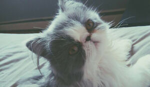 Beautiful Teacup Persian for loving home