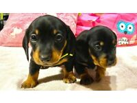 Adorable dachshund Poppy's for Sale now