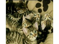 ***Playfull and friendly kittens ***