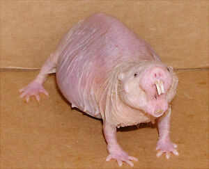 Naked Mole Rat Looking For Forever Home