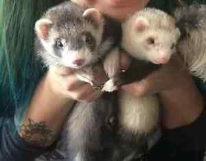 2 baby ferrets for sale. 400