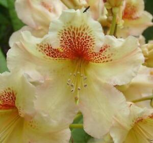 Rhododendron Hybrid - Bernstein. Yellow Flowers, Spring. 1 Lit. Evergreen Shrub