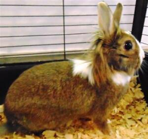 "Young Female Rabbit - Lionhead: ""Scamp"""