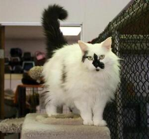 """Adult Male Cat - Domestic Medium Hair-black and white: """"Sawyer"""""""