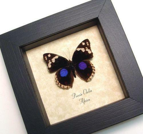 framed butterflies ebay