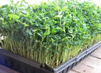 Wheat grass/pea & sunflower sprouts