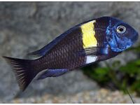 Tropheus Cichlids / Tropical Fish