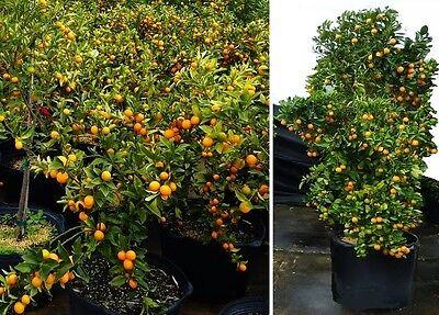 Mandarinenbaum essbare Früchte Pflanze groß Zimmerpalme für das Büro Büropflanze ()