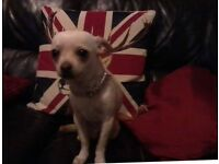 1 year old male Chihuahua for sale