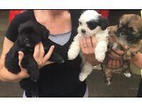 Lhasa Apso puppies (not Shih Tzu terrier, Toy)