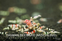 Taiwan Bees Hybrids Shrimps