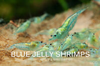 Blue Jelly Shrimps