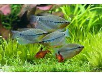 tropical fish gouramis pearl,opaline & dwarf red