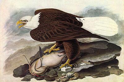 Bird Vintage Poster (Bald Eagle Audubon Bird Vintage Poster New Repro Canvas or Paper FREE SHIPPING )