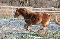 Great Walsh pony for sale