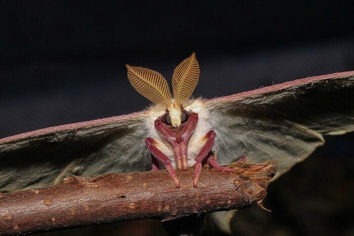 10× Live Luna Moth Cocoons