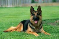 Offre mes services pour promener votre gros chien:)