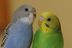 2 parakeets and cage
