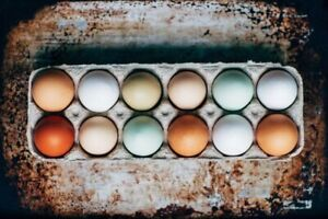 ❁ ℝainbow ℍatching Eggs & ℂhicks ❁