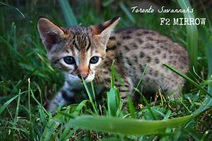 Toronto Savannahs - F2 Kitten Available