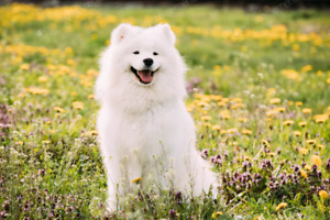 Samoyed | Adopt Dogs & Puppies Locally in Canada | Kijiji