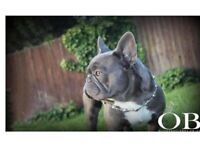 French Bulldog Puppies Sired by Oliver Bulldogs Prince Claud