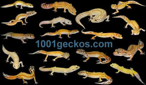 Beautiful Leopard Geckos from the local breeder
