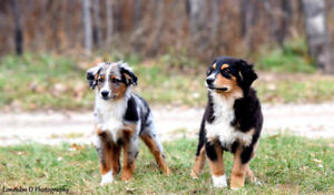 Toy, mini and standard Aussie pups