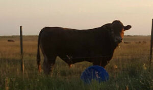 Gelbvieh Bulls For Sale -- By Owner