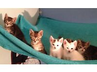 seven beautiful kittens for sale
