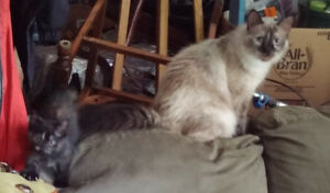 Chocolate Siamese Female Cat w Daughter Looking for Good Home