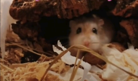 Dwarf hamster **NEEDS TO BE COLLECTED ASAP