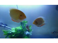 10 TROPICAL FISH S/ M / L ALL IN GOOD HEALTH QUICK SALE £95 NO LESS
