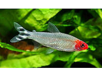 Four Adult Rummy Nose Tetra, Free to Good Home