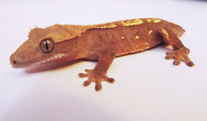 FOR SALE: FLAME Crested Gecko