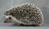 baby Hedgehogs , quality bloodlines