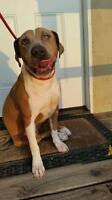 """Young Female Dog - Pit Bull Terrier: """"April"""""""