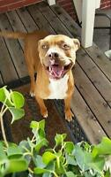 """Young Male Dog - Pit Bull Terrier: """"Davis"""""""