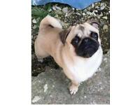Lost PUG gors Townhill area