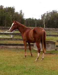 Chestnut solid paint gelding East Kempsey Kempsey Area Preview