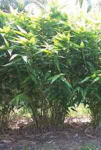 Wanted tiger grass/bamboo Valla Nambucca Area Preview