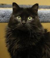 "Senior Female Cat - Cymric-Domestic Long Hair: ""Bonnie"""