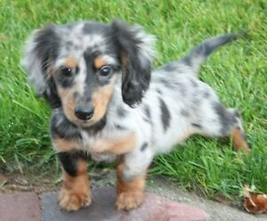 WANTED: Minature long haired dachshund