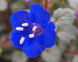 CALIFORNIA BLUEBELL FLOWER SEEDS FREE SHIPPING 50 FRESH SEEDS BLUE BELL