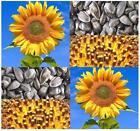 Sunflower Bird Seed
