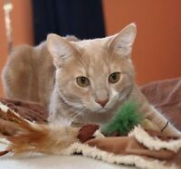 """Adult Male Cat - Domestic Short Hair - buff and white: """"Ruben"""""""