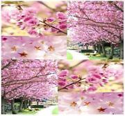 Japanese Cherry Seeds