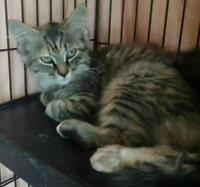 """Young Female Cat - Domestic Medium Hair - brown: """"Evey"""""""