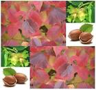Hazelnut Seed